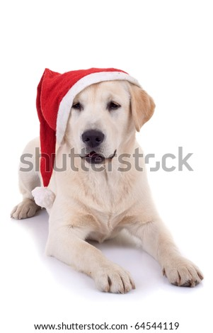 curious labrador retriever puppy wearing a santa hat over white