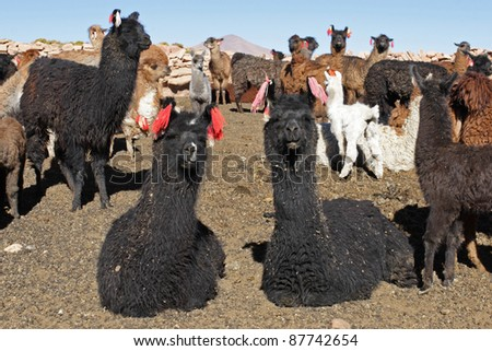 Curious Lamas, Bolivia