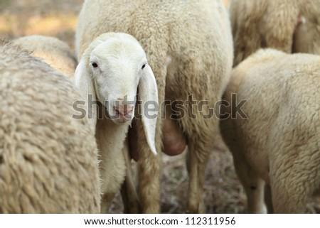 Curious lamb and Sheep on pasture