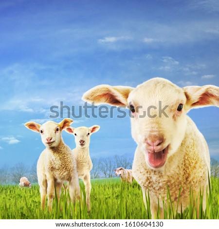 Curious Lambs in Green Grass Сток-фото ©