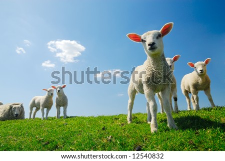 stock photo : curious lambs looking at the camera in spring