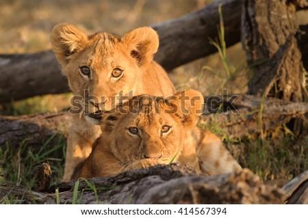 Curious Lion Cubs (Panthera leo) #414567394