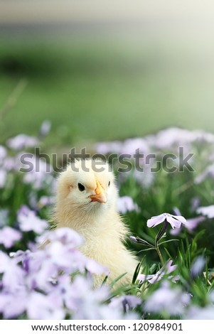 Curious little chick peeking above a bed of lavendar colored spring flowers.