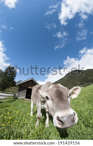Curious little Cow on Meadow