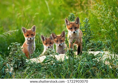Curious little cubs of red fox, vulpes vulpes, staring into the camera on the field. Sweet fox sibling discovering the countryside. Adorable young animals being out of the hole without their mum.