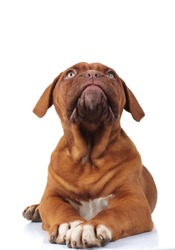 curious little dogue de bordeaux puppy dog looks up while lying down on white background