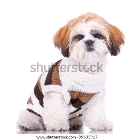 curious little shih tzu puppy, wearing clothes,sitting on white background