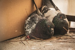 Curious, mad and upset couple pigeons, sitting on the balcony and building a fresh nest for the future eggs