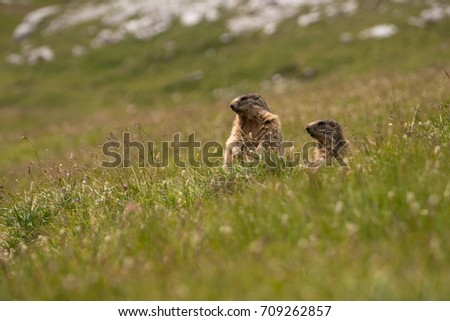 Curious marmots in Dolomites