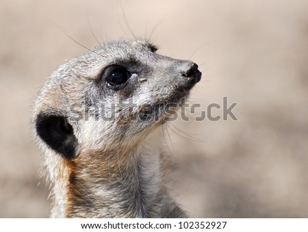 curious meerkat on the lookout