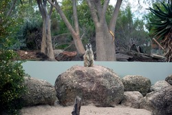 curious meerkat standing on large rock, trees in the background. stone and sand. greenery