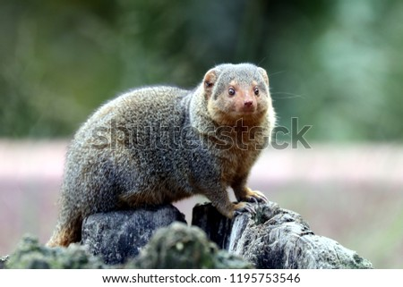Curious Mongoose is watching you