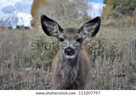 Curious Mule Deer Close up