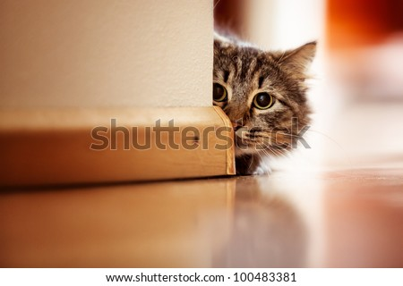 Curious Norwegian Forest Cat looking around the corner of a wall