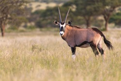 curious Oryx (Oryx gazella) or Gemsbok antelope portrait in profile standing in the yellow savannah grass at sunset in the wild in Mokala National Park in South Africa and turning to look at camera