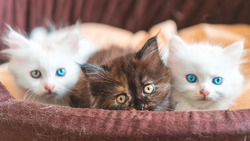 curious persian kittens playful. Kittens with blue eyes. Cat with Heterochromia