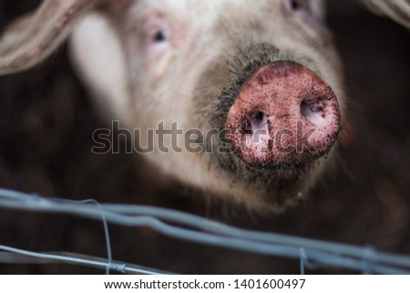 Curious pig and pig nose at a farm with a fence