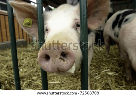 Curious pig at cage - stock photo