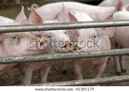 curious pigs on an eco farm waiting for food focus on nose of left side pig