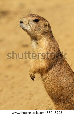 Curious prairie dog