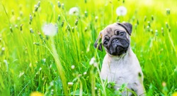 Curious pug puppy sits in the grass with dandelions and looks at camera tilting head. Empty space for text