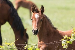 Curious quarter horse foal behind the fence with green grass background.