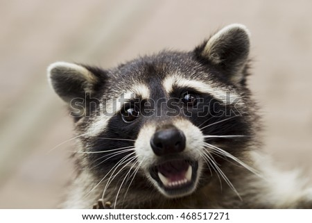 Curious Raccoon looks in the picture, portrait, natural light