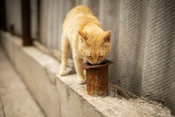 Curious red cat sniffs or looks into a rusty pipe, explore the area.