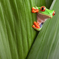 curious red eyed tree frog hiding in green background leafs Agalychnis callydrias exotic amphibian macro treefrog copyspace animal looking in tropical jungle Costa Rica vivid Panama or terrarium