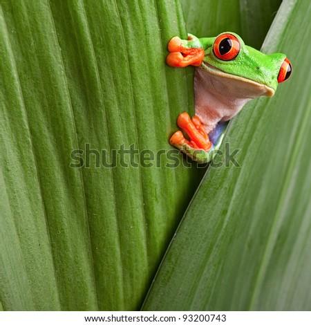 curious red eyed tree frog hiding in green background leafs Agalychnis callydrias exotic amphibian macro treefrog copyspace animal looking in tropical jungle Costa Rica vivid Panama or terrarium