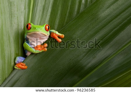 curious red eyed tree frog hiding in green background leafs Agalychnis callydrias exotic amphibian macro treefrog  Costa Rica rain forest animal copyspace