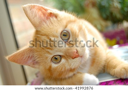 stock photo : Curious red kitten watching you