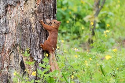 Curious red squirrel peeking behind the tree trunk holding pine cone in mouth.