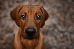 Curious Rhodesian Ridgeback puppy dog looking up straight to camera inquiringly