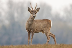 Curious roe deer, capreolus capreolus, buck in spring with new antlers. Wild animal with blurred background. Roebuck in spring. Majestic old male deer standing proudly. Wildlife scenery.