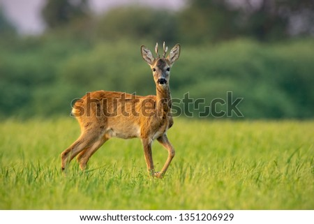 Curious roe deer, cervus elaphus, buck in summer at sunset watching with one leg lifted in the air. Roebuck with vivid warm colors with positive sentiment. #1351206929