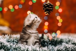 Curious scottish grey kitten sitting tinsel and looking at the pine cone with bokeh background of Christmas lights, New Year concept, copy space