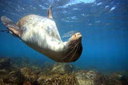 Curious sea lion underwater posing for camera, Galapagos Islands