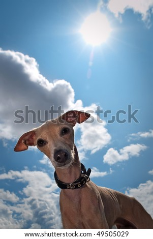 Curious small dog - breed is italian greyhound - looks in camera against a sun and blue cloud sky