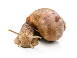 curious snail isolated on white