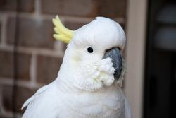 Curious sulphur-crested cockatoo close up near the window