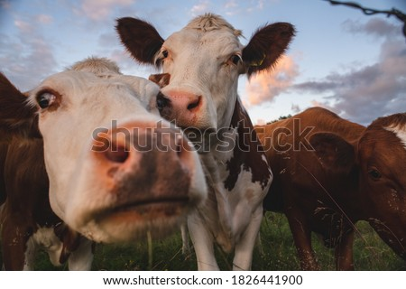 Curious Swedish cattle at sunset Foto stock ©