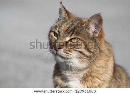 Curious tabby cat looking - on a gray background