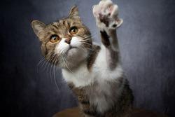 curious tabby white british shorthair cat raising paw reaching for snack