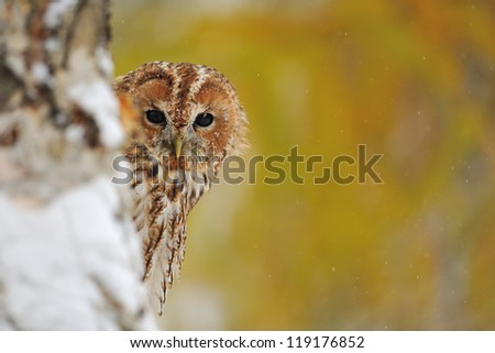 Curious tawny owl hiding behind tree trunk - stock photo