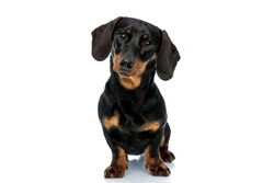 Curious Teckel puppy looking forward and tilting its head while standing on white studio background