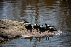 Curious turtles on a rock in a pond