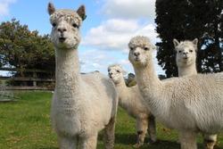 Curious white alpacas on the farm