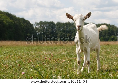 curious white goat against a blue sky with clouds and trees