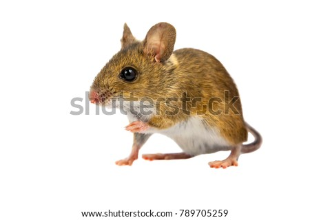 Curious Wood mouse (Apodemus sylvaticus) with cute brown eyes looking in the camera on white background #789705259